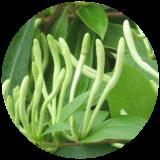 アバター 金銀花